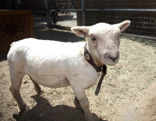 Disneyland Goat Big Thunder Ranch Petting Zoon