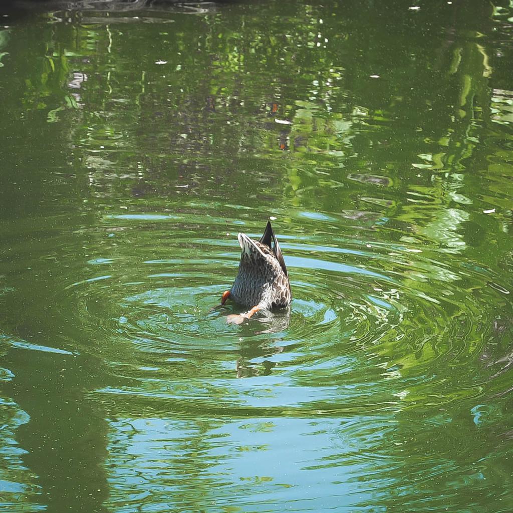 Silly ducks at Disneyland!! I named him Donald Jr. LOL.